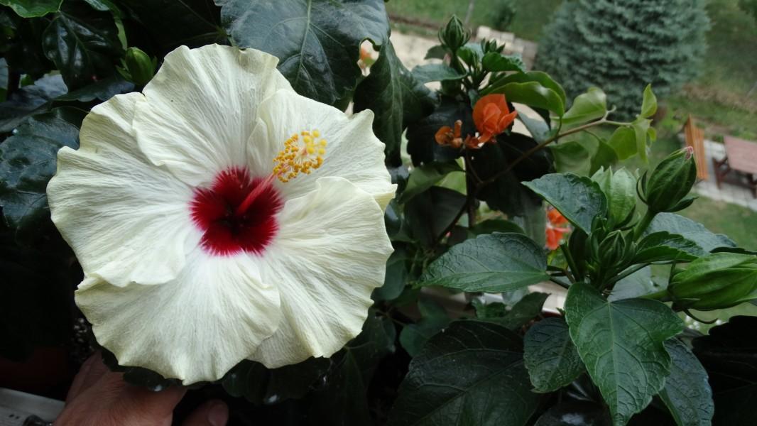boreas white