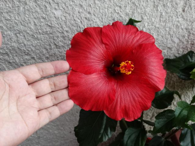 volcano ,velikost květu