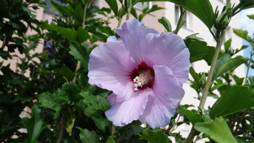 lila syrský