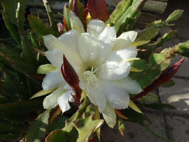 fylokaktus bílý