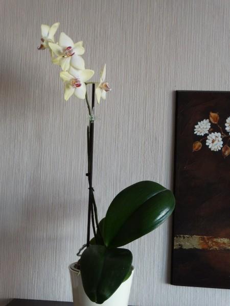 žlutý falenopsis