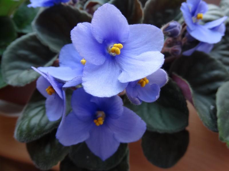 modrá fialka